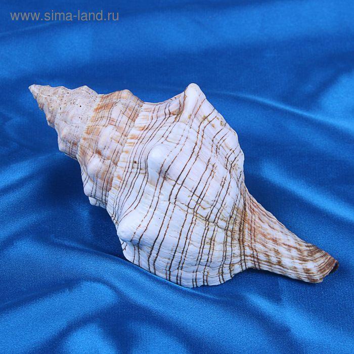 Морская раковина декоративная Плероплока трапезиум 13 см, 11349