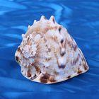 Морская раковина декоративная Кассис корнута 12 см, 1192