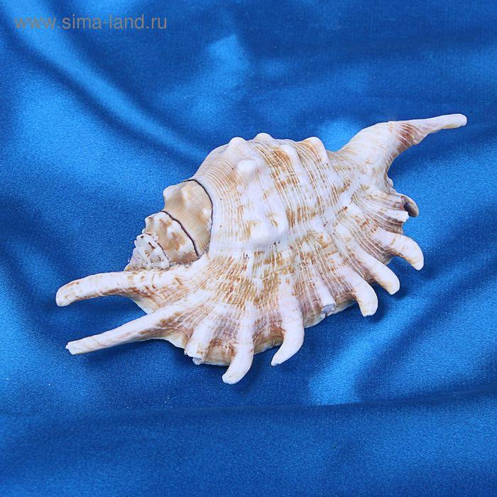 Морская раковина декоративная Ламбис миллепеда 0119