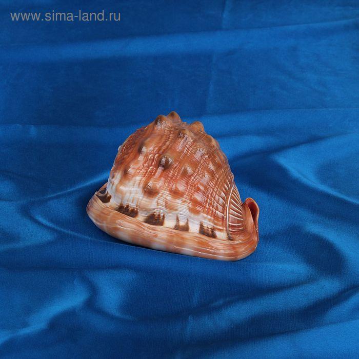 """Морская раковина декоративная Ципрея кассис руфа """"5"""" 6162"""